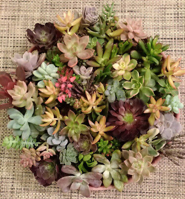 25 SUCCULENT CUTTINGS / 20 DIFFERENT VARIETALS! GREAT FOR WEDDING PARTY FAVORS!