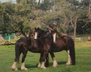 Two Clydesdale horses for sale Cranbourne Casey Area Preview