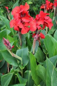 Red Canna Lily Roots