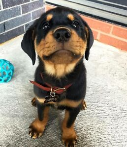 Wanted: Rottweiler puppy Opossum Bay Clarence Area Preview