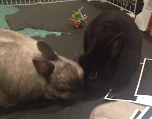 Netherland Dwarf bunny rabbits looking for a good home