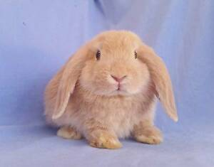 Beautiful Mini Lop Rabbit Babies - Purebred - Ready Now Joondalup Joondalup Area Preview