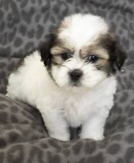 MALTESE SHIH TZU PUPPIES Mill Park Whittlesea Area Preview