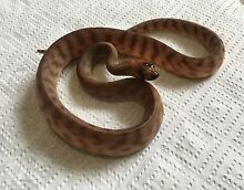 Woma Python hatchlings Griffin Pine Rivers Area Preview