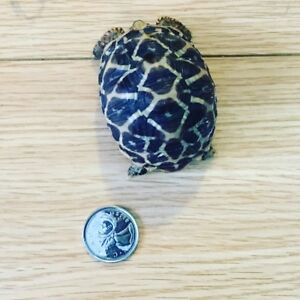 Female Adult/yearling Indian Star Tortoises