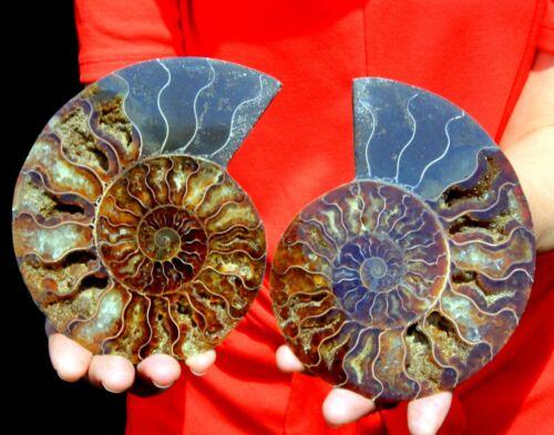 "Large 5.5"" Ammonite Pair, Madagascar! AMN421"