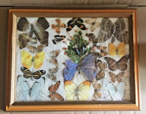Vintage Amazing Butterfly Taxidermy Display Framed Art