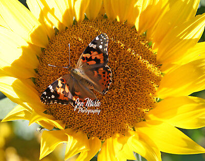 Painted Lady Butterfly Sunflower 8x10 Picture Print Kodak Professional ENDURA E