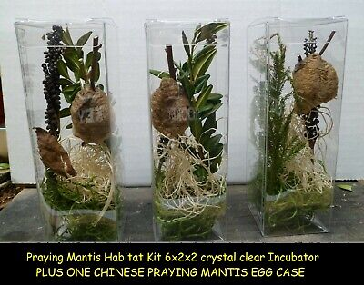 1 Praying Mantis Egg + Praying Mantis Habitat Kit 6x2x2 crystal clear -