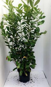 10 Cherry Laurel / Prunus Rotundifolia Hedging Plants 15L 175-200cm (6ft- 7ft)