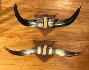Mounted Steer Horns Cow Bull Horns Longhorns