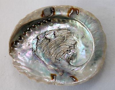 eine Haliotis midae ABALONE Paua natur ca. 12 bis 15 cm echte Muschel Schale