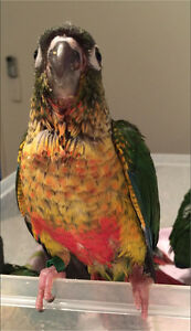 I'm HANDRAISING baby CONURES now!! PEARLY & yellowsided Mudgeeraba Gold Coast South Preview
