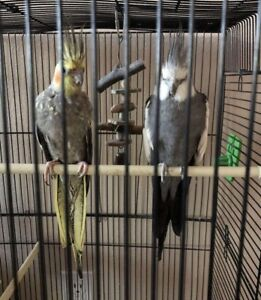 2 pair Cockatiel Birds fur sale