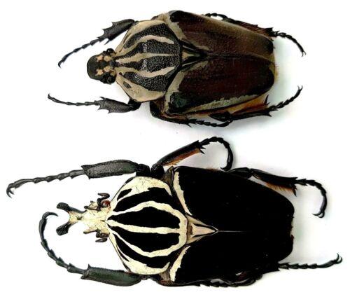 Cetonidae: Goliathus goliathus....PAIR....BIG SIZE!....Congo....Africa. Rare!