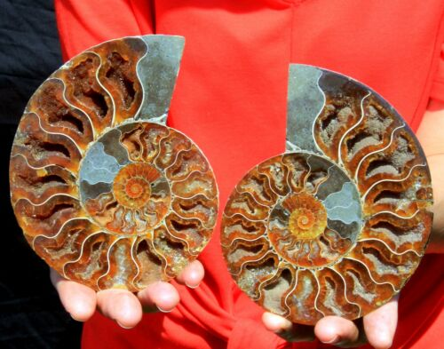 "Large 5.25"" Ammonite Pair, Madagascar! AMN428"