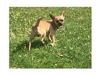 9 month old Female chihuahua looking for forever home