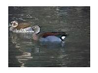 ring teal ducks