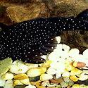 Peppermint Bristlenose Catfish adult High Wycombe Kalamunda Area Preview