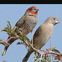 Wanted female finch amadina