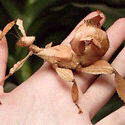For sale: baby spiny leaf insect $3 each Lake Illawarra Shellharbour Area Preview