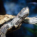 Mississippi map turtle(ppu)