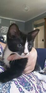Beutiful kitten. Rutherford Maitland Area Preview