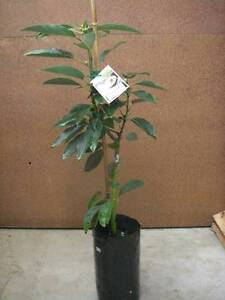 Grafted avocado trees – Hass, Reed, Bacon, Wurtz West Ballina Ballina Area Preview