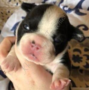 Updated pictures of beautiful purebred French Bulldog puppies