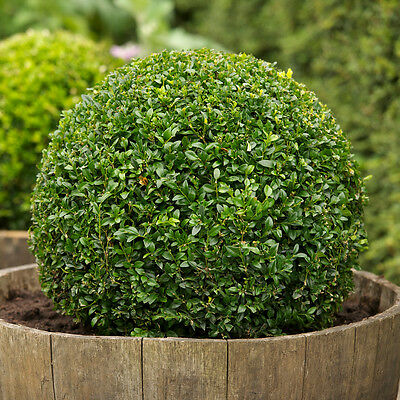 - Boxwood, Buxus sempervirens, Seeds, (Hardy Evergreen, Topiary, Hedge, Bonsai)
