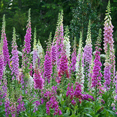 ✿Biennual FOXGLOVE Digitalis purpurea✿1000 Seeds✿Up to 72