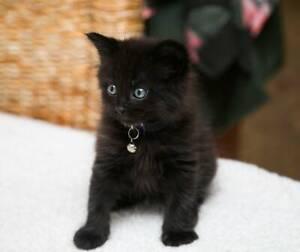 Harlem rescue kitten NK3001 VET WORK INCLUDED