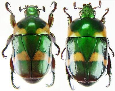 Oxysternon conspicilatum Insect Peru SCARABAEIDAE XXL Pair 28mm+ ....!