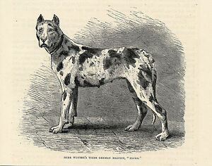 BEAUTIFUL GREAT DANE DOG HARLEQUIN DANE ANTIQUE DOG PRINT 1881