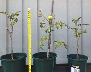 Tomato plants (money makers) Beeliar Cockburn Area Preview