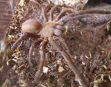 Goliath tarantula with enclosure Bellbird Heights Cessnock Area Preview