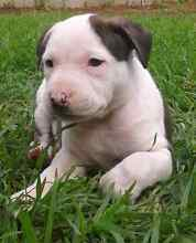 American staffy pups Elizabeth East Playford Area Preview