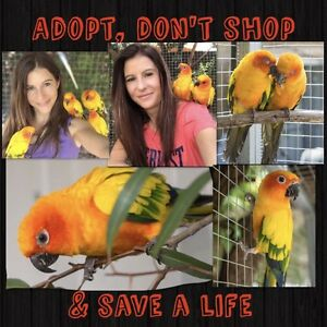 BONDED SUN CONURE PAIR FOR ADOPTION Carine Stirling Area Preview