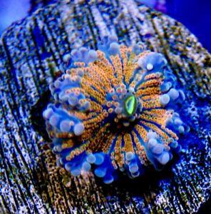 Rainbow Yuma Mushroom Reef coral Frags