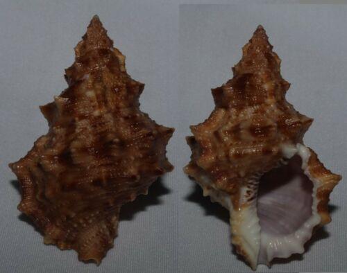 Seashells Bursa latitudo BUFONARIELLA 65mm VERY LARGE F+++/GEM Marine Specimen