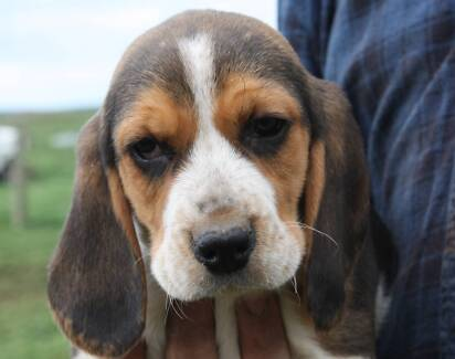 pure beagle pup beautiful, adorable pup Moyne Area Preview