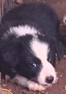 Purebred Border Collie Pups Yarraman Toowoomba Surrounds Preview