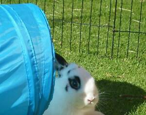 Rabbit needs a new home... Owner is Allergic Uralla Uralla Area Preview