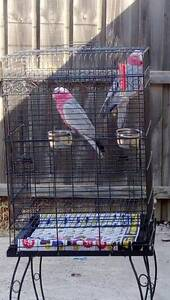 2x Galahs and cage St Albans Brimbank Area Preview