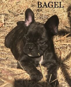 FRENCH BULL DOG PUPPIES LAST ONE