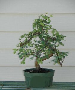 Imported Art Shaped CHINESE ELM Pre Bonsai Tree Live Tree
