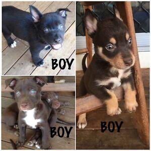 Kelpie x Collie Pups for Sale Goodna Ipswich City Preview