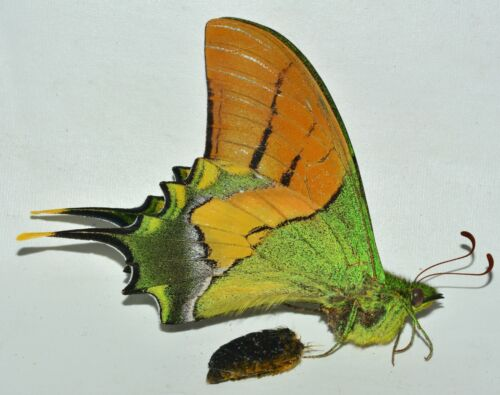Teinopalpus imperialis behludinii male - China- RARE - ships from USA