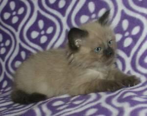 Ragdoll kittens Purebred registered Rare Minks