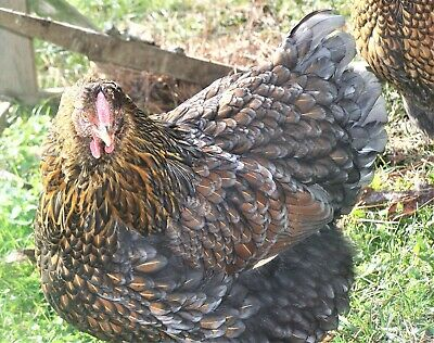 6+RARE PURE BLUE BLACK SPLASH LACED RED WYANDOTTE CHICKEN FERTILE HATCHING EGGS